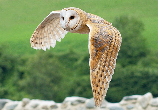 Barn Owl (Tyto alba) in flight - Photo:  Luc Viatour / www.Lucnix.be