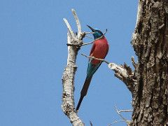Northern Carmine Bee-eater Merops nubicus The Gambia