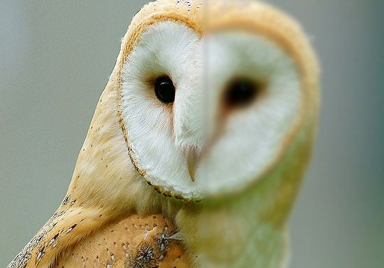 Barn Owl - Focus Example