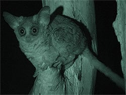 Greater Bush Baby (Galago crassicaudatus) with night vision