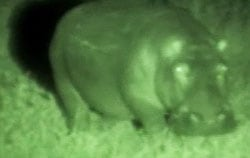 Hippo viewed with Night Vision