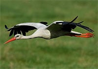 National Bird of Germany, the European White Stork (Ciconia ciconia)