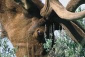 Elk 20x